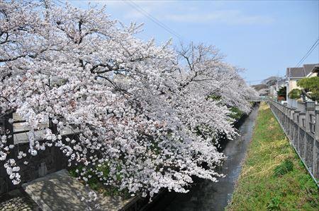 真間川沿いの桜並木をレポートします!