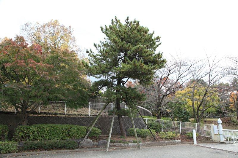大松台小学校の松の木
