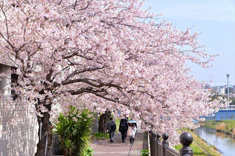 桜並木が美しい「柏尾川プロムナード」
