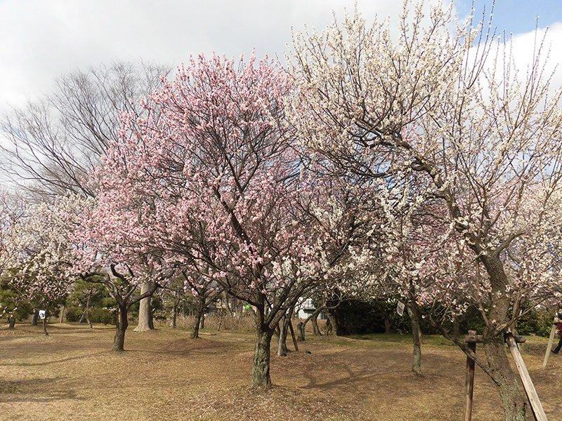 春も間近!梅や桜を愛でに「お花見」へ行きませんか?