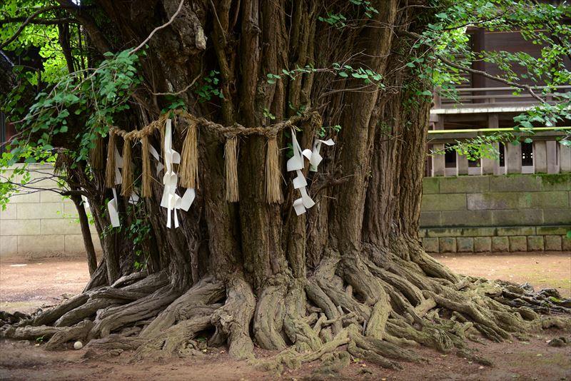 樹齢はおよそ1200年。国指定天然記念物に指定されている
