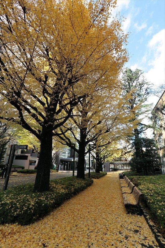 学院のシンボルとなっているイチョウ並木