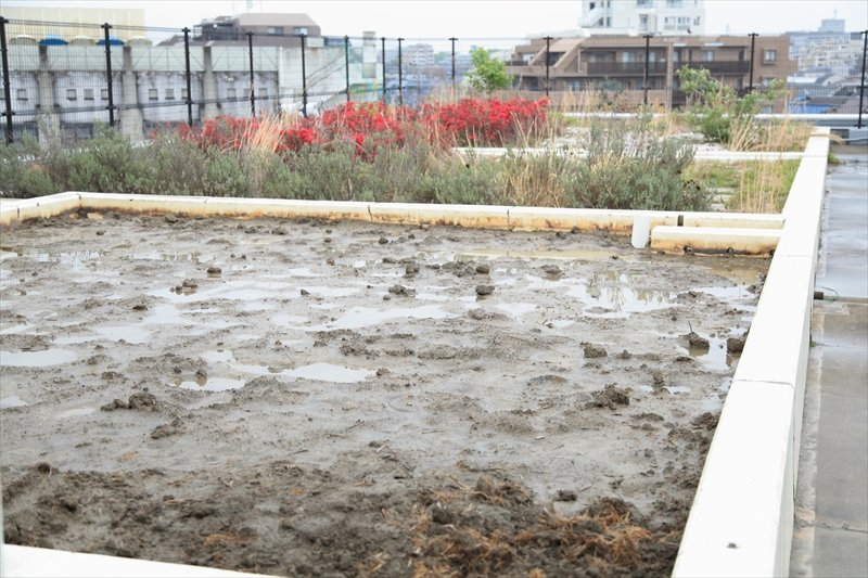 「稲作体験」を行う屋上の田んぼ