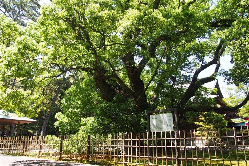 大きく枝を広げるご神木「雲立(くもたち)の楠」