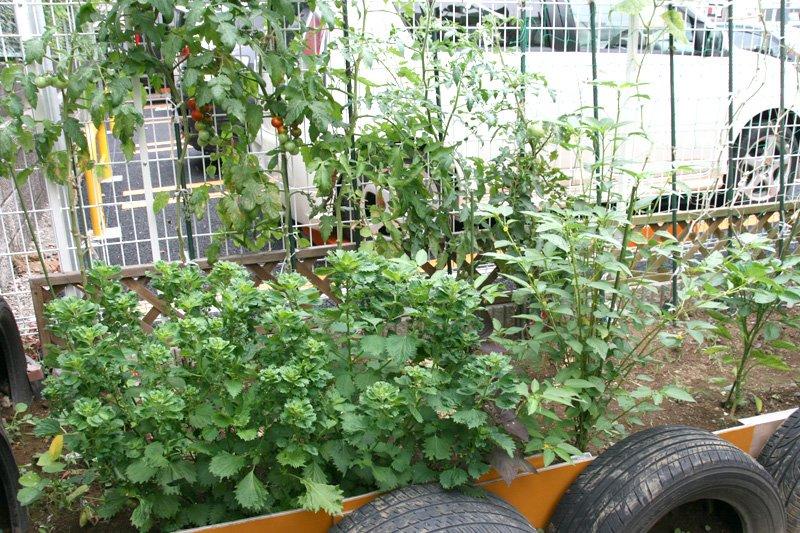 地域の人もお世話をしにくる家庭菜園