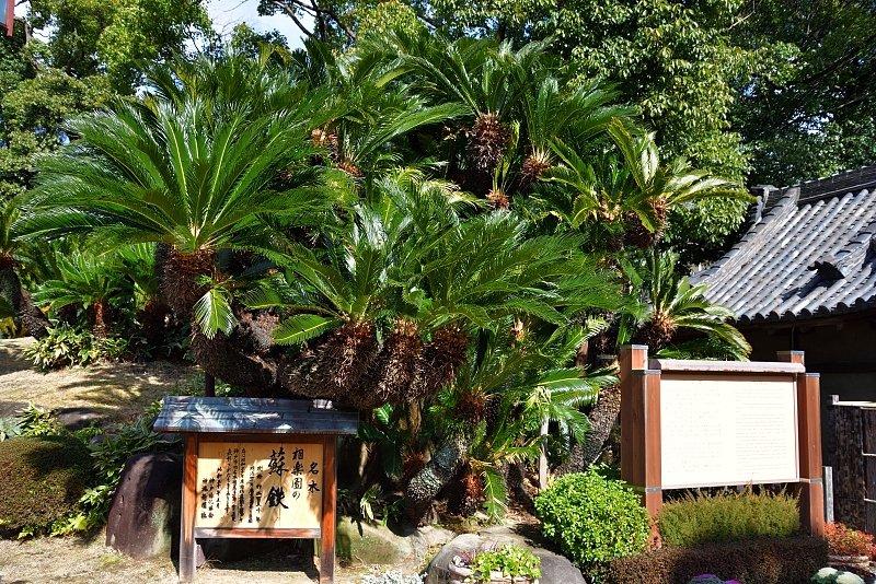 園内には100株を超える蘇鉄(ソテツ)が植えられている