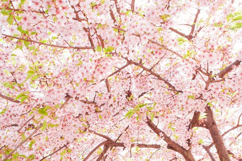 歴史ある桜とともに暮らす
