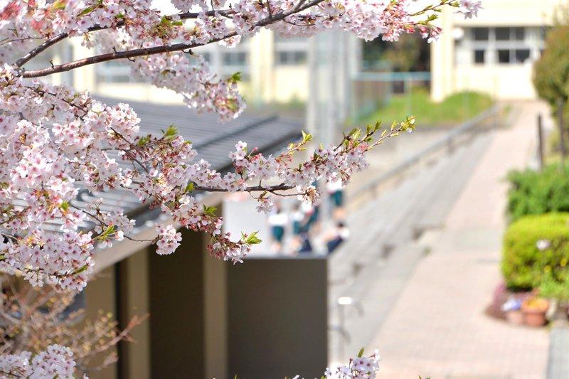 春には学校の周りに桜並木が連なる