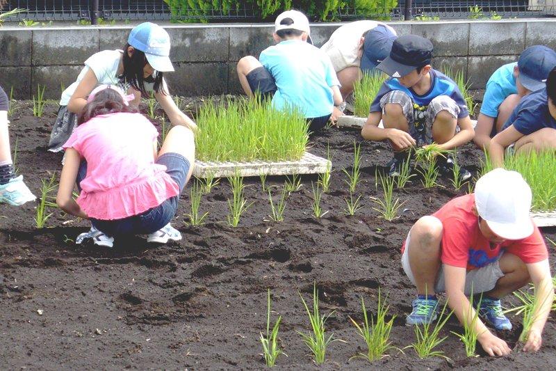 学校農園で陸稲を植える子どもたち