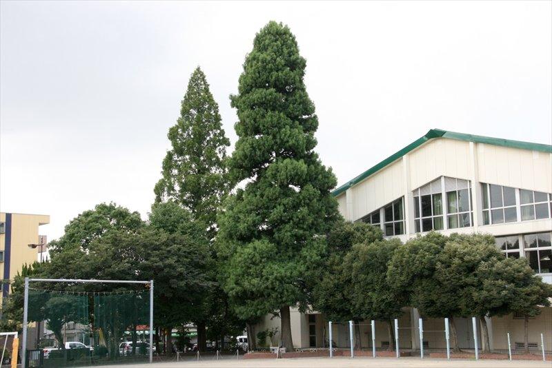 本町小学校のシンボルである一本杉(中央の最も高い木:ラクウショウ)