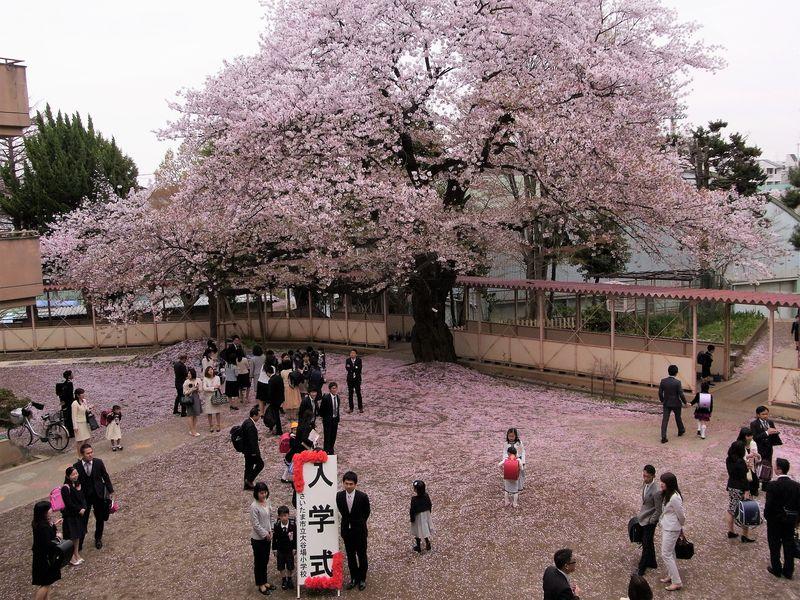入学式(大谷場桜)