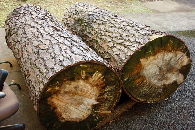保管されている大王松の幹