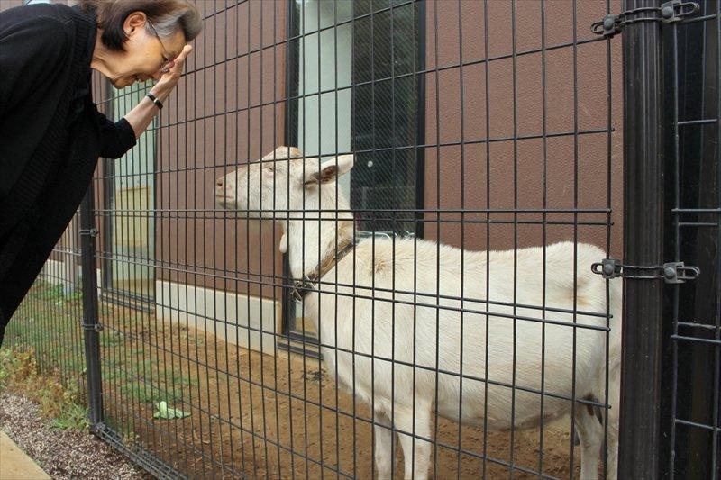 園児だけでなく近隣住民にも人気のヤギ