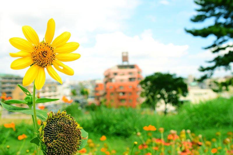 毎年夏に咲くひまわり
