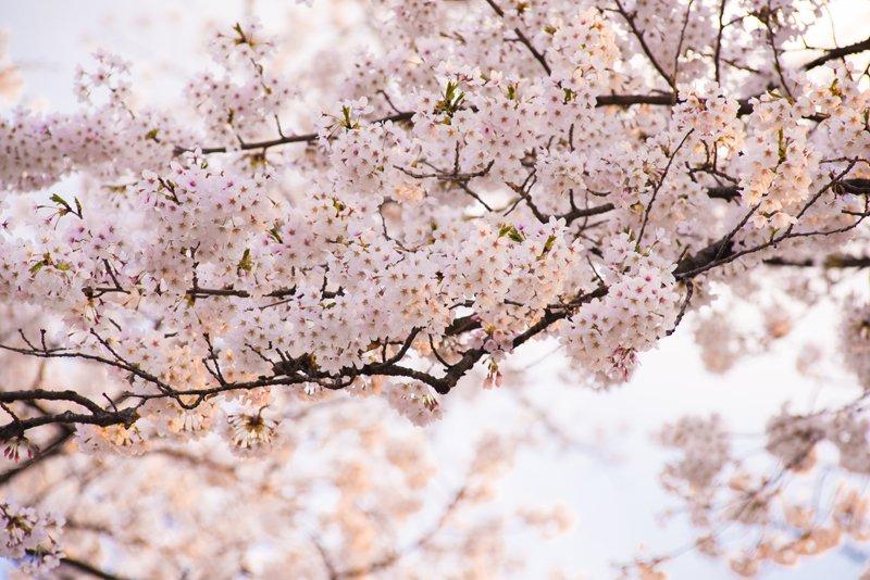 桜の開花がもうすぐそこまで!!